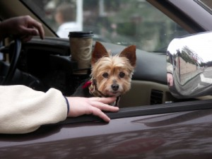 yorkie dog in car, auto repair, west covina, glendora, san dimas